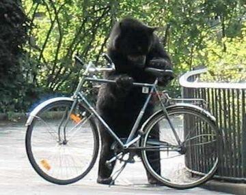 Niedźwiedź na rowerze?