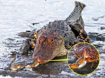 Krab vs Krokodyl