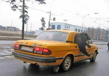 Niedźwiedź wozi się taksówką