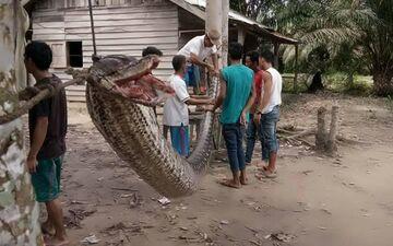 Indonezja: 7 metrowy pyton