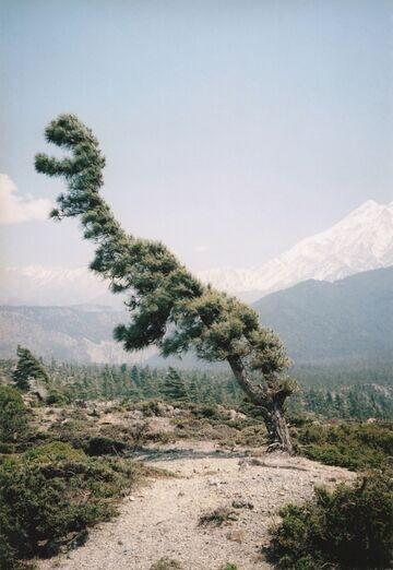 Drzewo dinozaur