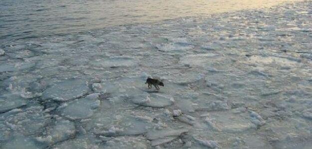 Pies dryfował na krze na Bałtyku. Płynął od soboty