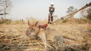 Szczur saper. Zajmuje się wykrywaniem min i właśnie otrzymał złoty medal