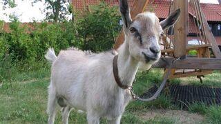 Koza aresztowana za napad z bronią