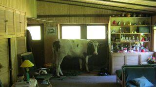 Krowa zrobiła włam