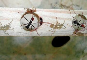 Jak rozładować korki? Bierzmy przykład z mrówek