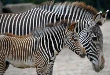 Biedne zoo przemalowuje osiołki na zebry