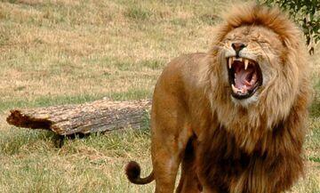 Lew zjadł kłusownika