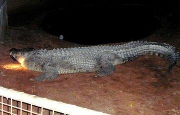 Po pijanemu chciał przejechać się na krokodylu