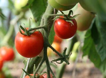Złodziej ukradł pierwszego pomidora tego sezonu