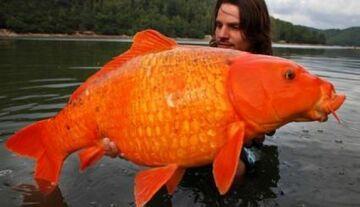 """Złowił monstrualną """"złotą rybkę"""""""