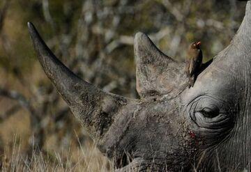 Nosorożce ochraniały uprawę marihuany