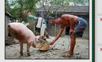 Dwunoga świnia nauczyła się chodzić