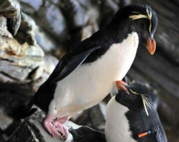 """Oto, dlaczego pingwiny są czasami """"homo"""""""