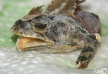 Fuj! Żaba w mrożonce