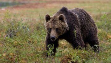Rosja: Niedźwiedź narozrabiał na weselu