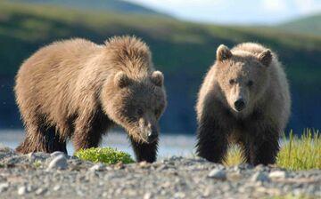 Pod Oszmianą dwa niedźwiedzie zabrały lunch biznesmenom
