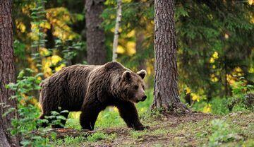 Malutki pies przestraszył 3 niedźwiedzie