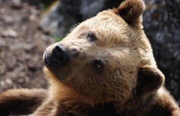 Słowacy ostrzegają: Uwaga na pijane niedźwiedzie!