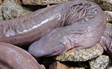 Naukowcy odkryli węża, który wygląda jak penis