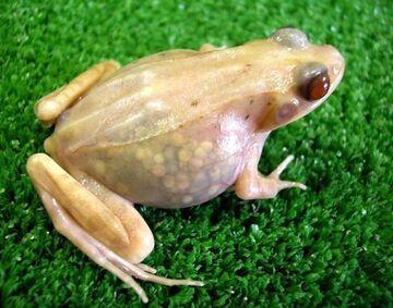 Japończycy stworzyli przezroczystą żabę!