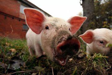 Wielka świnia uwięziła kobietę w domu