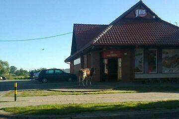 Byk przeszedł na czerwonym i zaszedł do sklepu mięsnego
