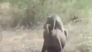 Kapucynki na dzikiej świni!