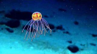 Niesamowita meduza na dnie Rowu Mariańskiego