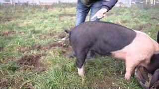Jak wyprostować świni ogon?