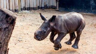Nosorożec Warren na spacerze z psami