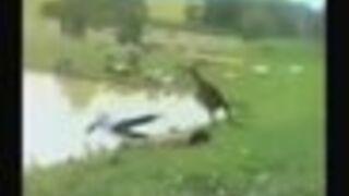 Kangur wkopuje dziecko do jeziora!