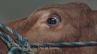 Załadowali krowę na przyczepę, a zwierzę płacze, bo myśli, że jedzie na rzeź