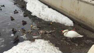 Łabędź sprząta śmieci po ludziach