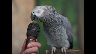 Niezwykła papuga, naśladuje dużo różnych dźwięków
