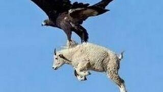 Niesamowite ataki orłów na duże zwierzęta