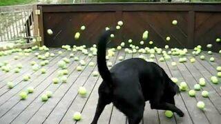 Pies dostał 300 piłek tenisowych