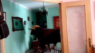 Byk wpadł do domu
