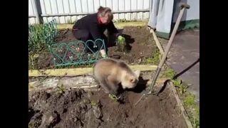 Rosja: Niedźwiedź pracuje w ogródku