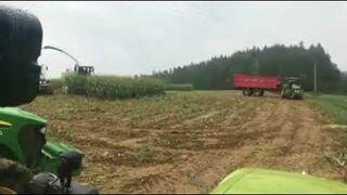 Dziki na polu kukurydzy