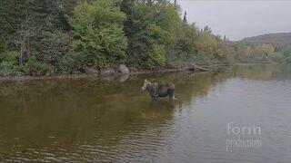 Walka łosia z wilkiem nagrana dronem