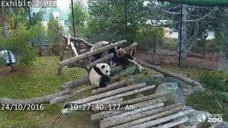 Dlaczego pandom groziło wyginięcie