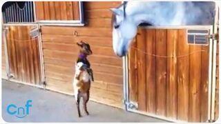 Koza zaprzyjaźnia się z koniem