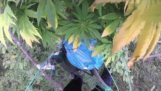 Plantacja marihuany rosnąca w lesie na drzewach