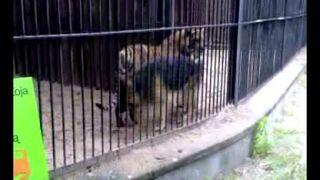 Pies wszedł do klatki z tygrysem...