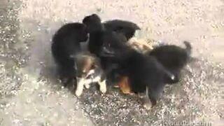Wściekłe psy rozszarpały kota na strzępy!
