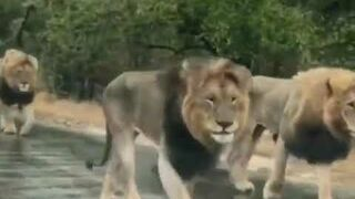 A Traffic jam in South Africa Due to Lions Walking | Nature is Amazing