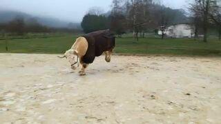 To jeszcze byk, czy już koń?