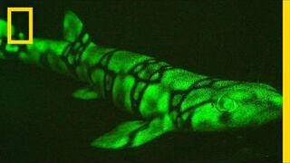 Świecące ryby Neon Sharks Caught on Camera | National Geographic