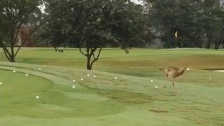 Ptak odbija sobie piłkę do golfa